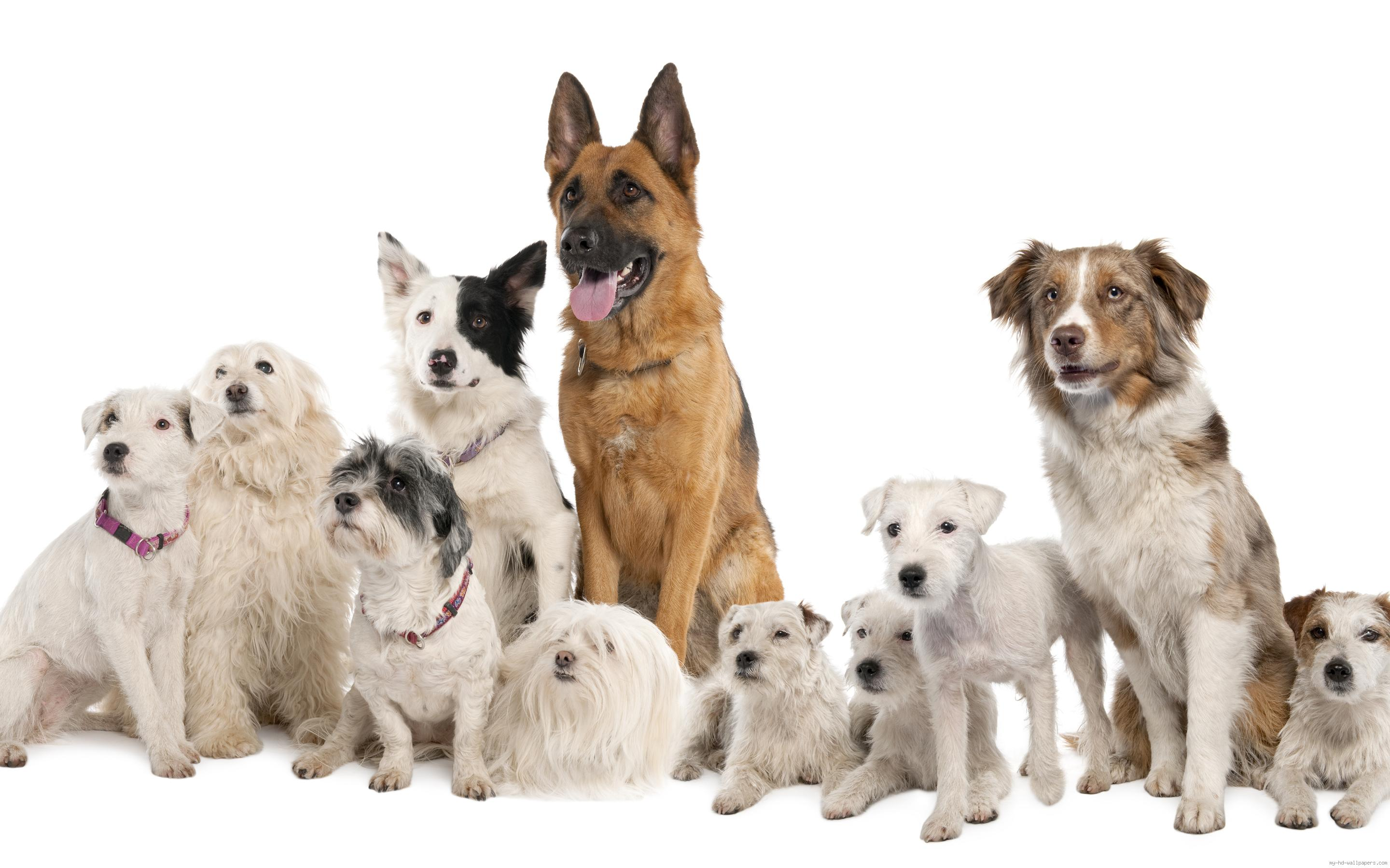 wall-1405244716-pack-of-dogs-on-a-white-background-1-.jpg